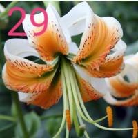 Лилии тигровые заказ весна 2020