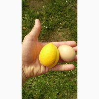 Продам саджанці абрикоса, сорт Ананасовий