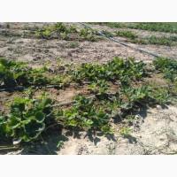 Продам розсаду полуниці Альба (рання) 3 грн/шт, від 1000 - 2 грн/шт