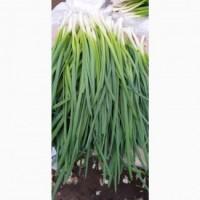 Продаю зелёный лук перо
