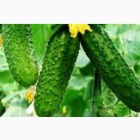Сільськогосподарський кооператив вирощує та реалізує оптом огірки тепличні