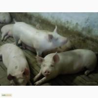 Свиные полутуши дюрок