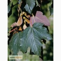 Саженцы клёна: Клён псевдоплатановидный «Атропурпуреум»