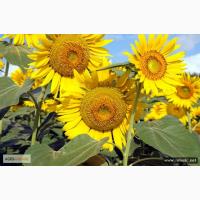 Продам семена подсолнечника Лимагрейн ЛГ 5550, ЛГ 5665, ЛГ 5662, ЛГ 5661
