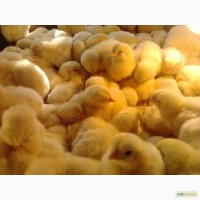 Продам цыплят бройлера РОСС-308