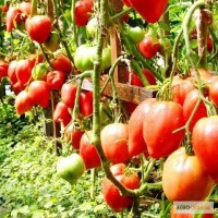 Продам семена Томат Чудо Земли