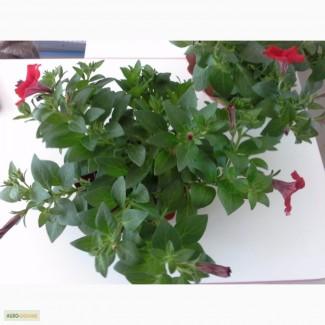 Продам квітучі вазони - петунія, сурфінія