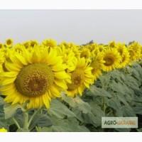Одиссей гибрид с высокой урожайностью и пластичностью выращивания