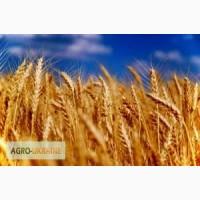 Куплю пшеницу, ячмень, рожь, овес, горох, просо, подсолнечник по Луганской обл