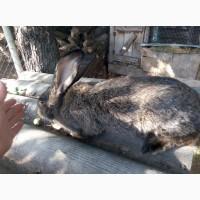 Продам кроликов породы Бельгийский фландр, белый великан, шиншила разного возраста
