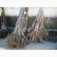 Продаю саженцы деревьев