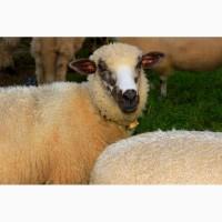 Продаем курдючных овец