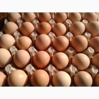 Яйца инкубационные Coob-500