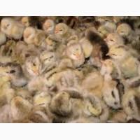 Суточные цыплята Мастер Грей Сумы Недригайлов Липовая Долина Ромны