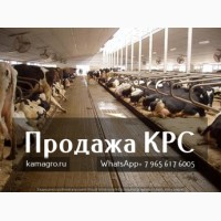 ... рогатый скот живым весом - Племенные нетели молочных и мясных пород