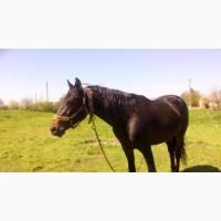 Продам жеребця, коня, лошадь ( порода - російська рисиста) 5 років