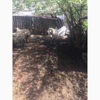Продам :баранов, овец, маток, ягнят, по всем вопросам по телефону