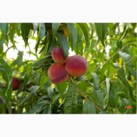 Продам саджанці персик Молдова