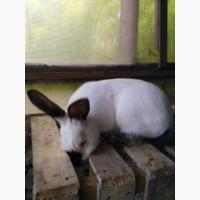 Продам кролики ПАНОН та Каліфорнія