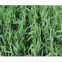 Семена пшеницы Леннокс 1р (двуручка)
