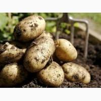 Продажа оптом картофеля, предзаказ