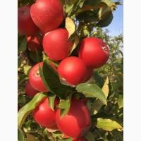 Яблука з молодого саду сорту Гала Маст, Гала Ред, Джестер, Чемпіон та інші сорти