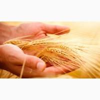 Посівний матеріал озимої пшениці (1 реп., еліта, с. / еліта)