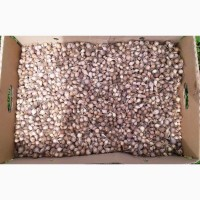 Продам чеснок семена