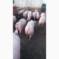 ТОВ ПІВНІЧ МЯСО Закупает свиней живим весом 100-120 кг 150-200 кг