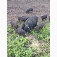Продам маленькі Поросята Свині Вєтнамські
