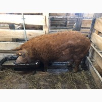 Ремонтные свинки породы Венгерская Мангалица 8-9 месяцев ЦЕНА ДОГОВОРНАЯ