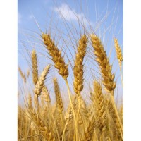 Продам насіння озимої пшениці Бонанза (Saaten Union)