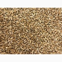 Продам насіння озимої пшениці сорту Ріно 1-Р