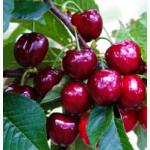 Саженцы черешни плодовые деревья купить в Киеве и др. растения