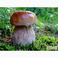 Купимо лісові гриби: білий гриб, опята, маслюки, грузді