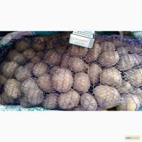 Продам семенной картофель, Ривьера, ll реп