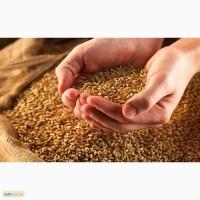 Семена пшеницы Сорт оmаха