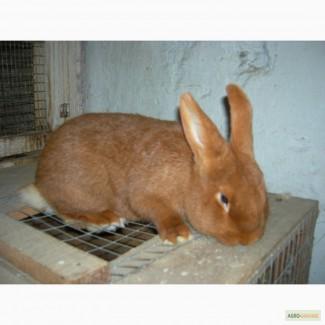 Продам кроликов НЗК