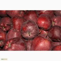 Яблоки польские широкий ассортимент (компания EUROHARVEST Польша)
