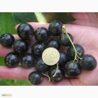 Продам сортовую смородину (ягоды)