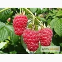 Малина-ягода свежая