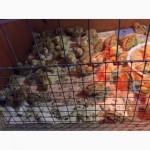 Перепелиные яйца пищевые, Инкубационные перепелиные яйца, перепелиные тушки, перепела