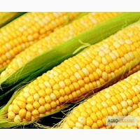 Продам, Купить семена кукурузы Лювена 900 грн