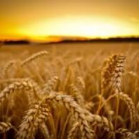 СРОЧНО продам канадский трансгенный сорт мягкой пшеницы двуручки KASTOR