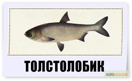 толстолоб оптом в ростовской области