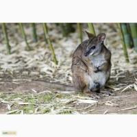 Кенгуру Парма (Macropus parma Parma Wallaby)