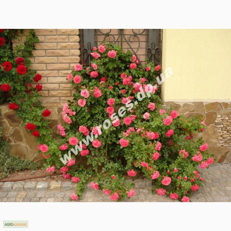 Роза патио микс как сажать 97