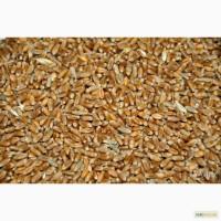 Продам Пшеницу фураж и Ячмень мелким оптом, Чениговская обл, носовский район