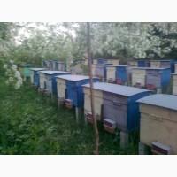 Пчелопакеты, бджолопакети с доставкою