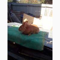 Продам кроликов мясных пород